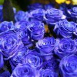 sinie-rozy-2