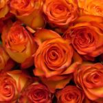 16-rose-high-magic
