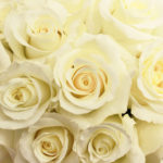 blizzard_white_rose_close500_a3863906
