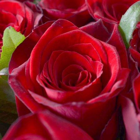 #231. Розы красные 101шт в упаковке